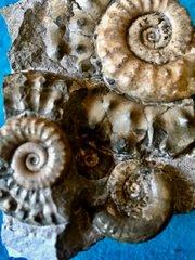 Close up of Microderoceras Micro macro
