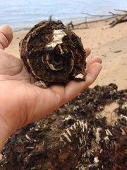 Ecphora Snail