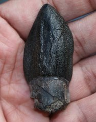 Bothriospondylus madagascariensis