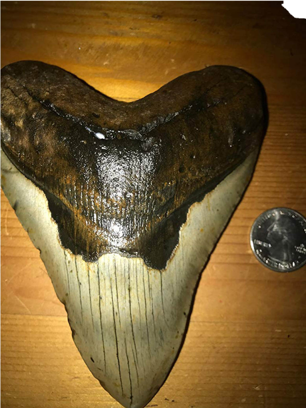 Is this Megalodon Tooth fake? - Is It Real? How to Recognize