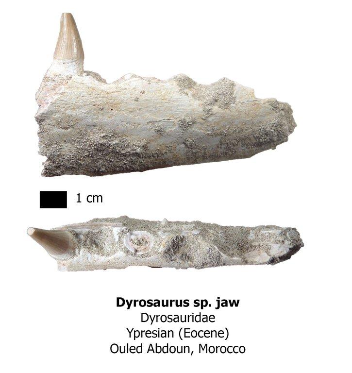 dyrosaurus.thumb.jpg.8b45c0d48f5a51c2bd9c79feb6531a39.jpg