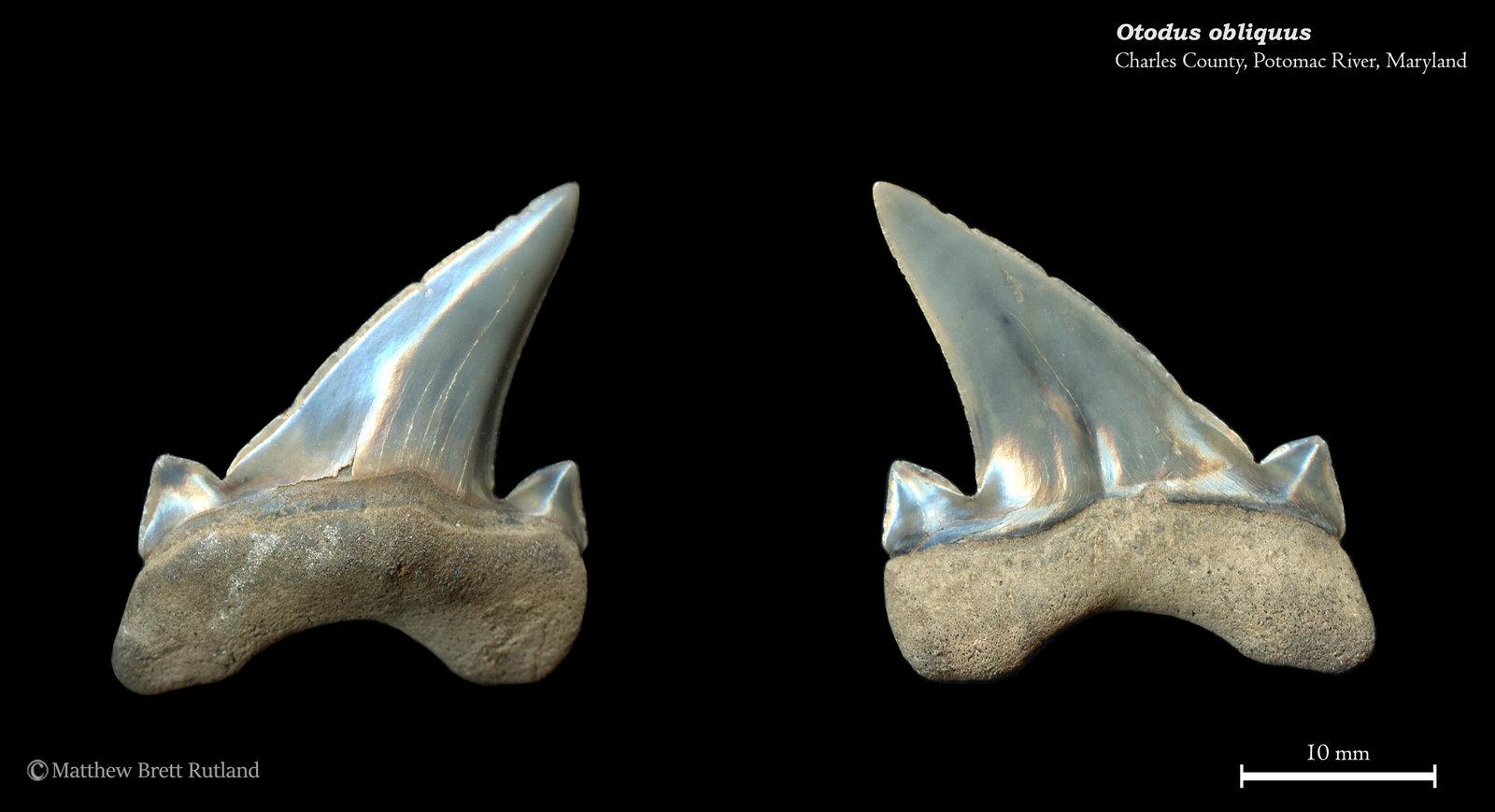 Otodus obliquus 01