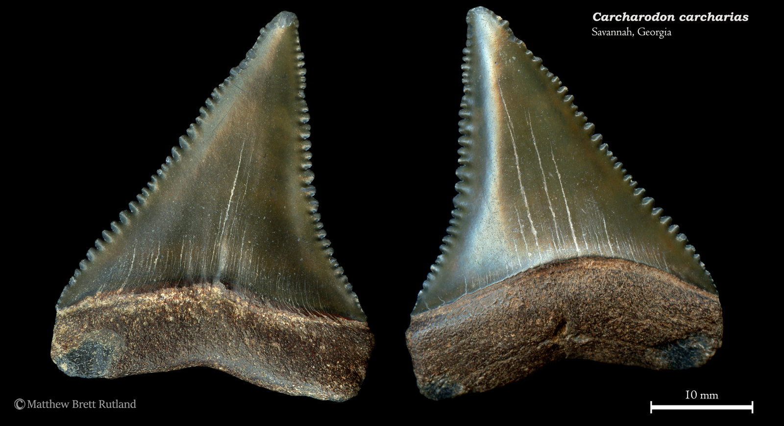 Carcharodon carcharias 01