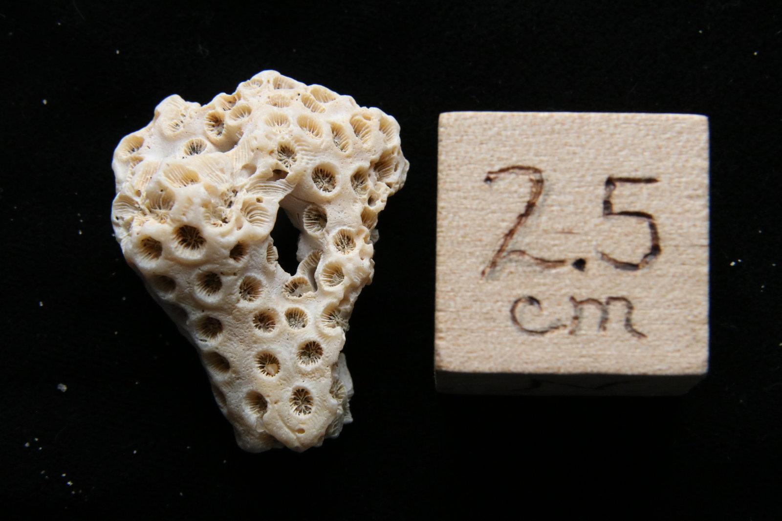 Pleistocene Coral, Cape Hatteras