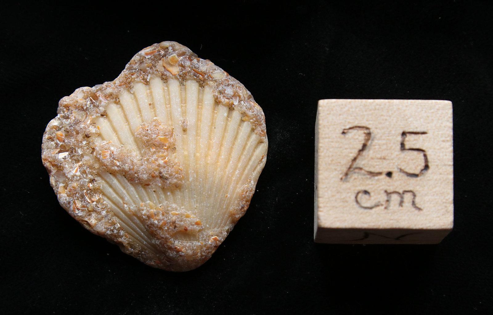 Pleistocene Fossil Scallop Shell, Cape Hatteras