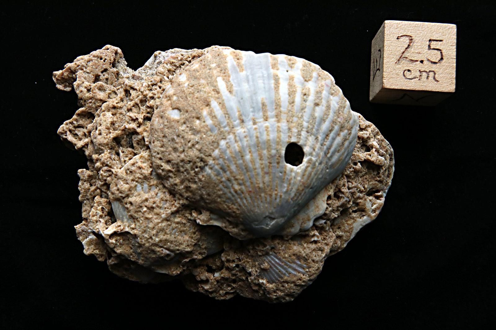 Fossil Scallop Shell, Cape Hatteras