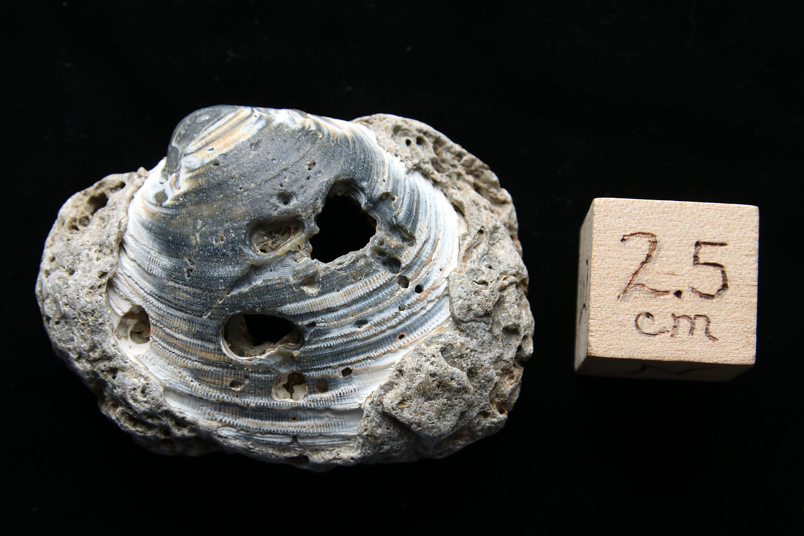 Fossil Clam Shell, Cape Hatteras