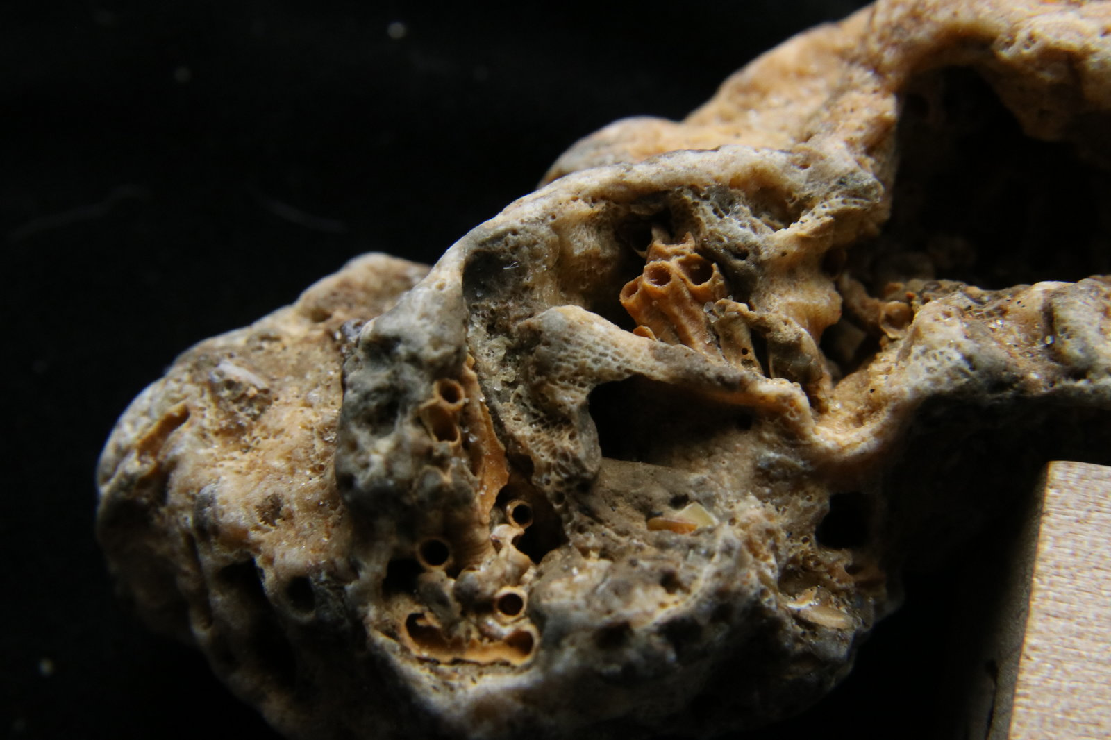 Fossil Tube Worms, Cape Hatteras