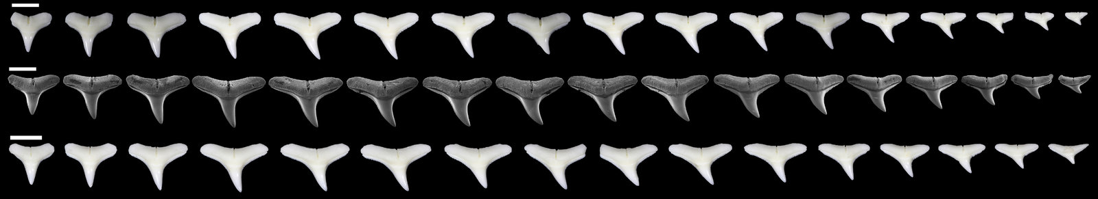 Carcharhinus brevipinna.jpg