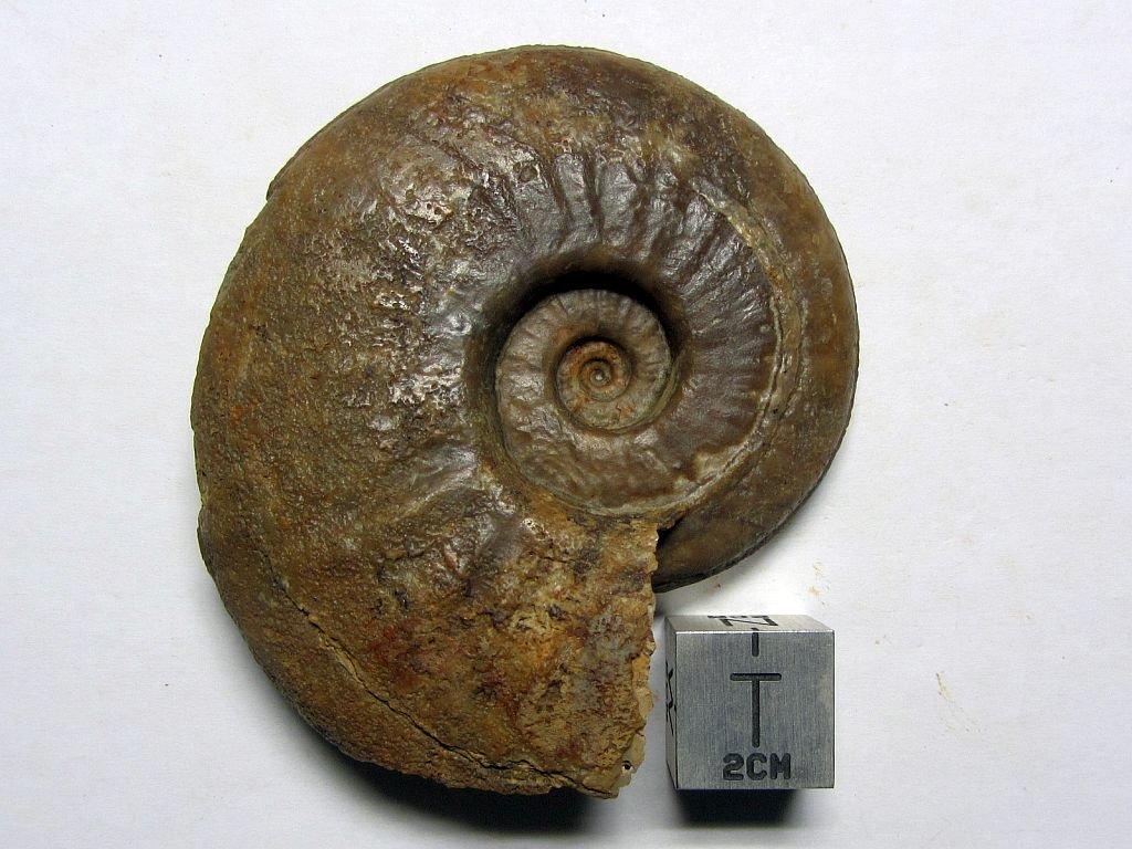 Sonninia (Euhoploceras) attrita (Buckman 1893)