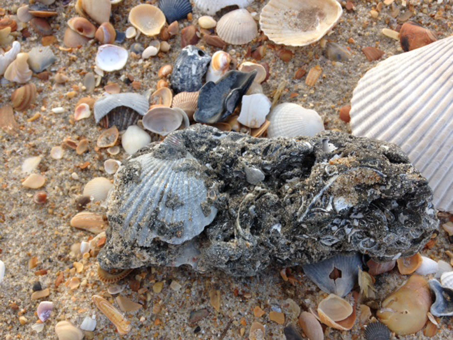 Pleistocene Scallop Shell, Cape Hatteras