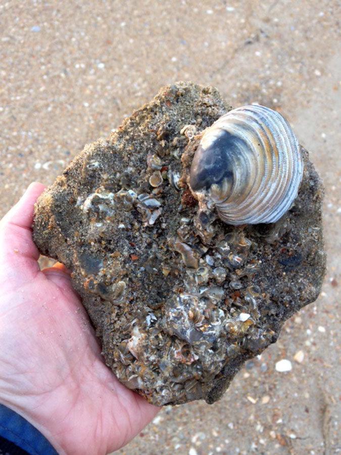 Pleistocene Clam Shell. Cape Hatteras
