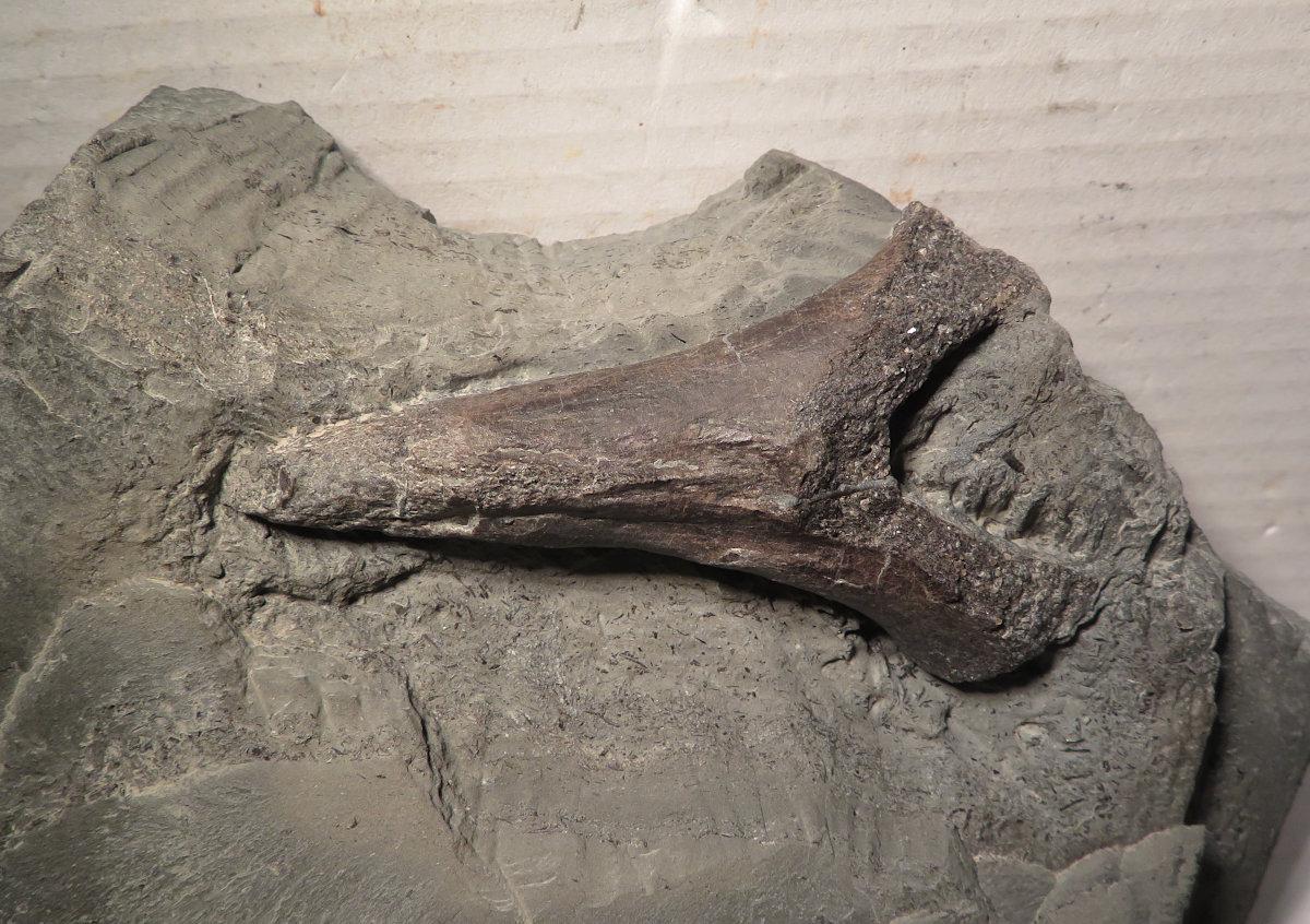 Ichthyosaur neural spine bone