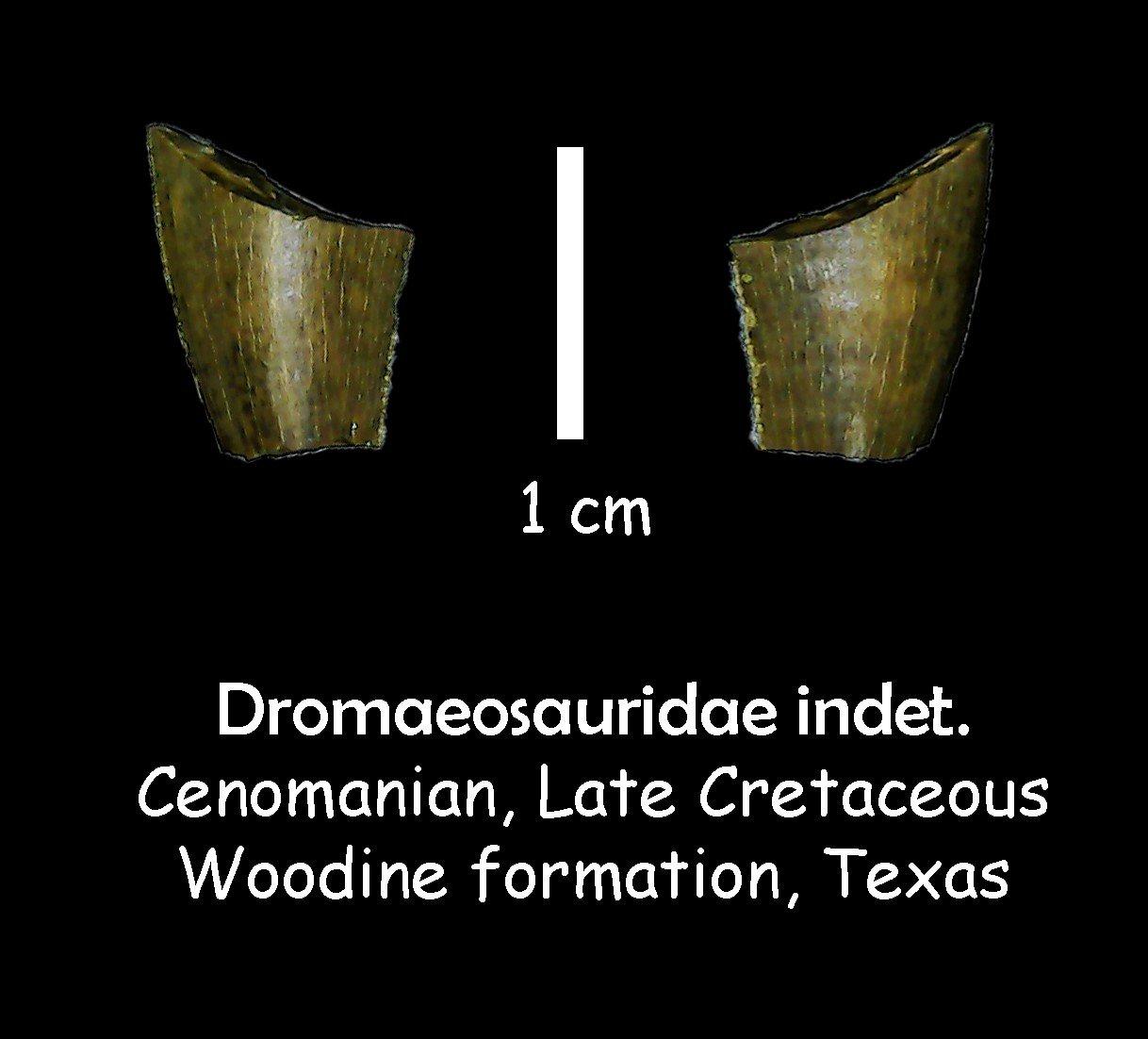 Woodbine formation Dromaeosaurid