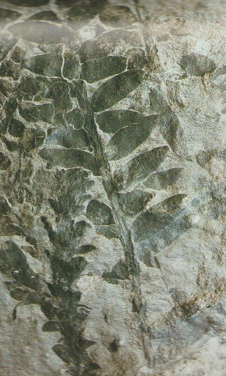 podocarpus.jpeg