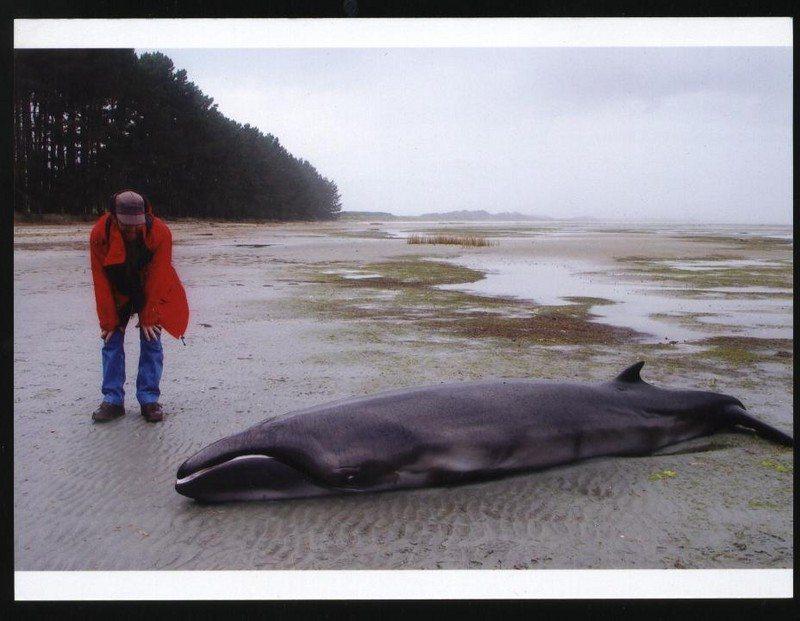 pygmy-right-whale.jpg.8def231cebedc57fc50cad0a7d7dba20.jpg
