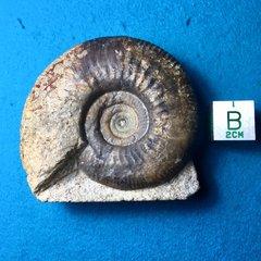Bobby's ammonites