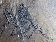 Palaeochiropteryx spiegeli Revilliod 1917