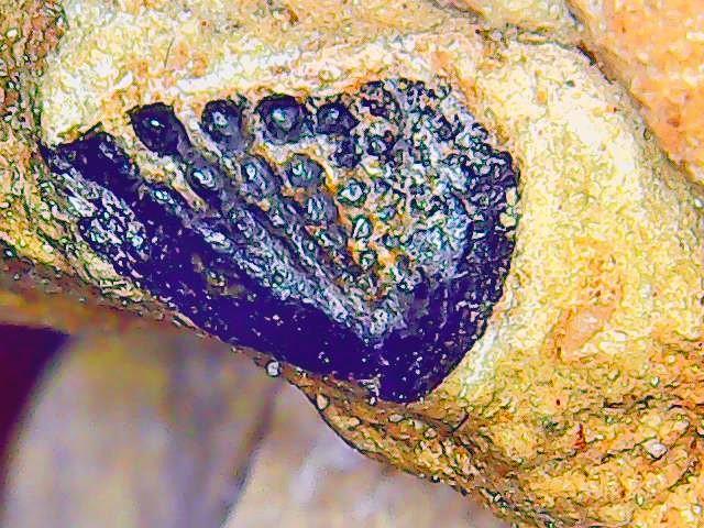 phaneropleuridae tooth 1.jpg