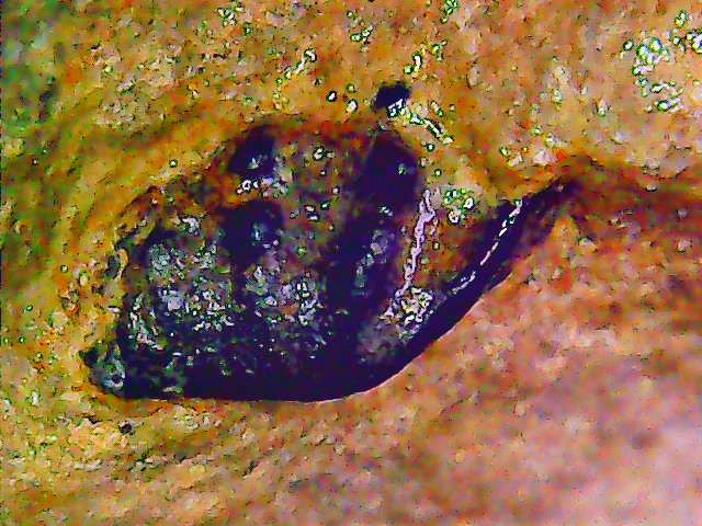 unidentified lungfish tooth 2.jpg