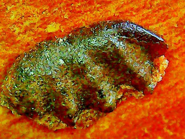 unidentified lungfish tooth x.jpg