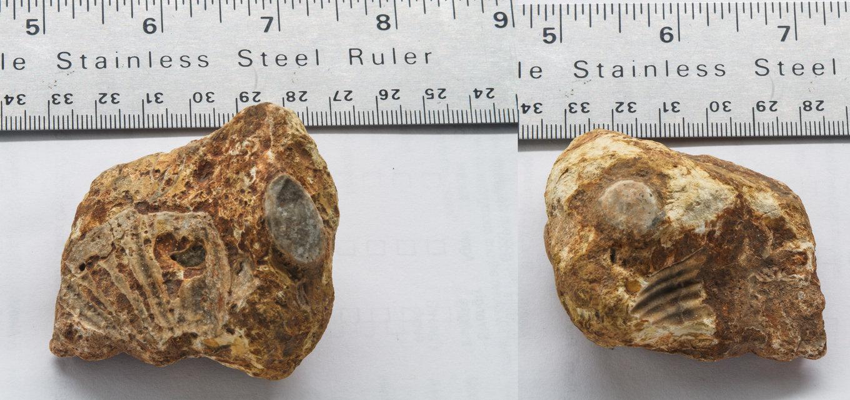 BryozoaorPelecypods.thumb.jpg.07e0df0217aa51163df9dc4f6d777cfb.jpg