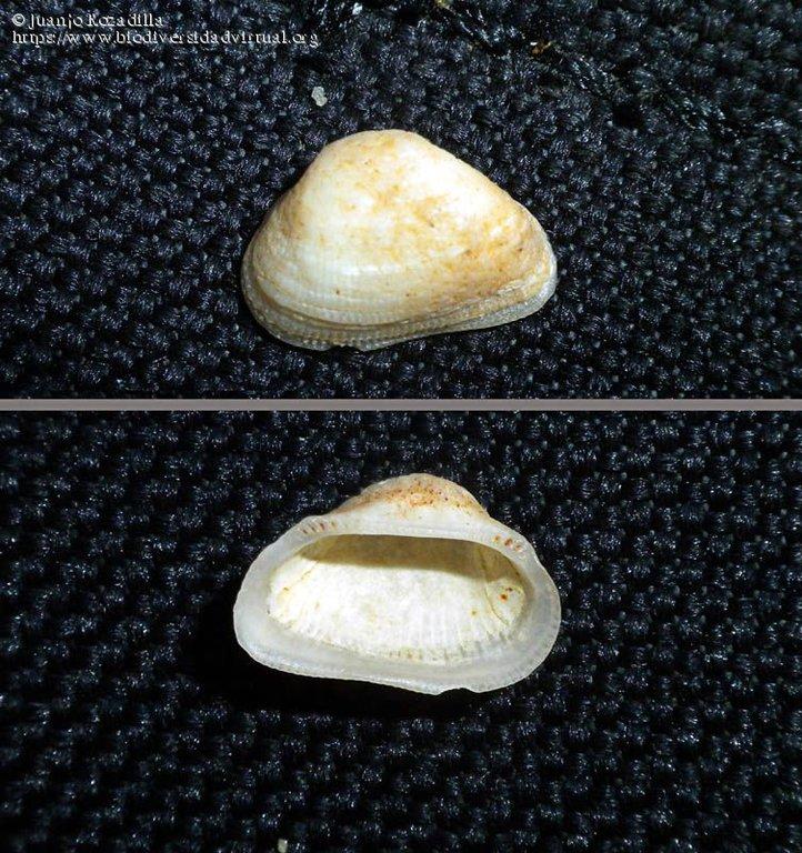 Striarca-lactea-(Linnaeus-1758)-408134.thumb.jpg.730c30f408278ce1b3b0d6a5ba517d37.jpg