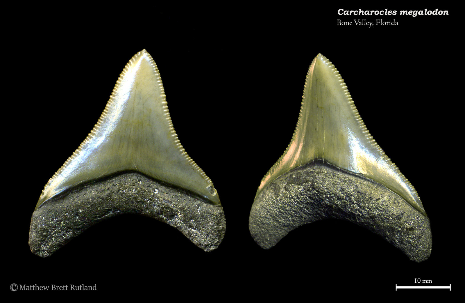 Carcharocles megalodon 03