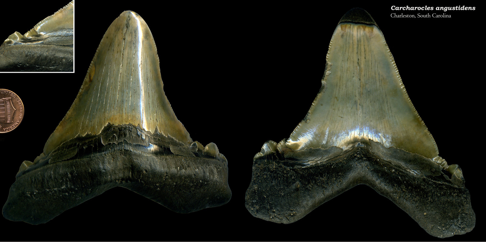 Carcharocles angustidens 02