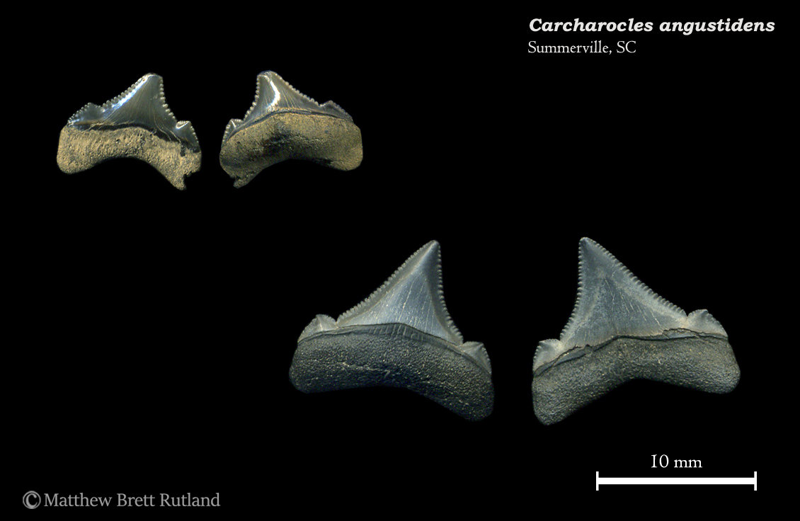 Carcharocles angustidens 14