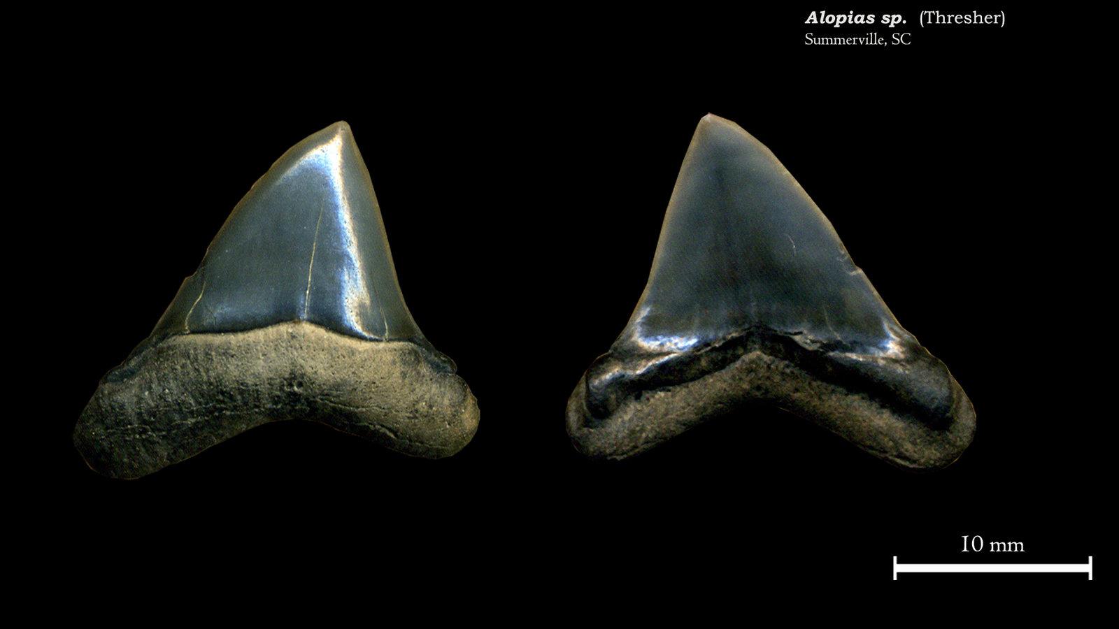 Alopias sp. 01