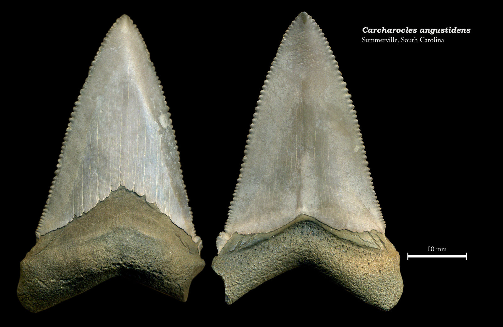 Carcharocles angustidens 03