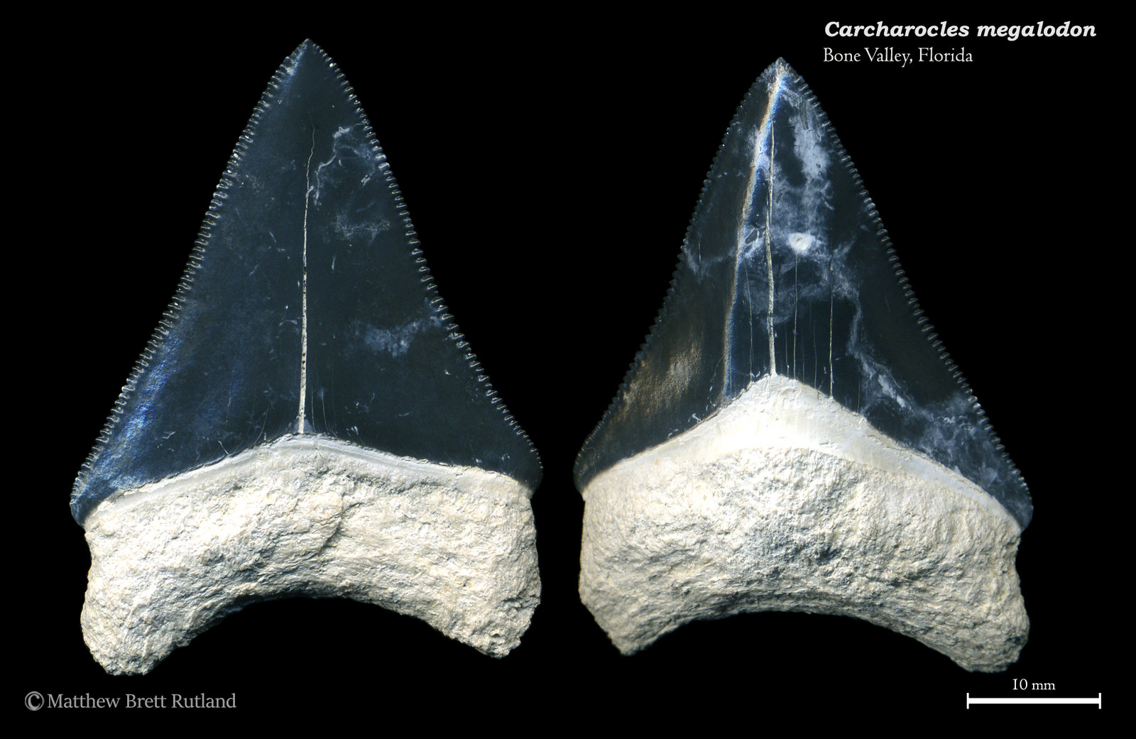 Carcharocles megalodon 04