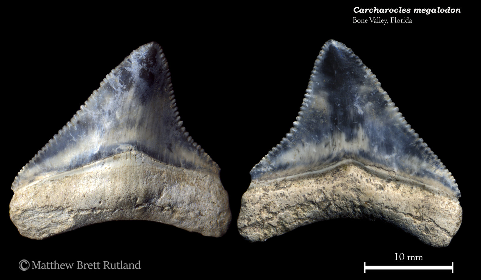 Carcharocles megalodon 08