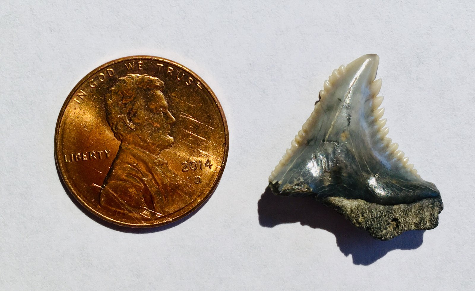 Hemipristis Shark tooth