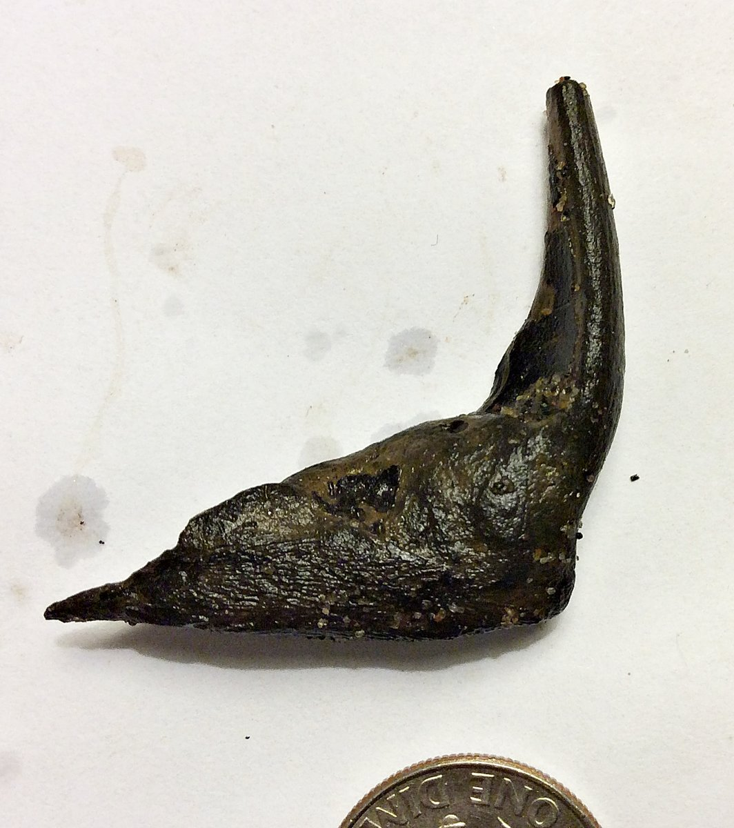 Enchodus Fang and Jaw Fragment from Ramanessin Brrok, N.J.