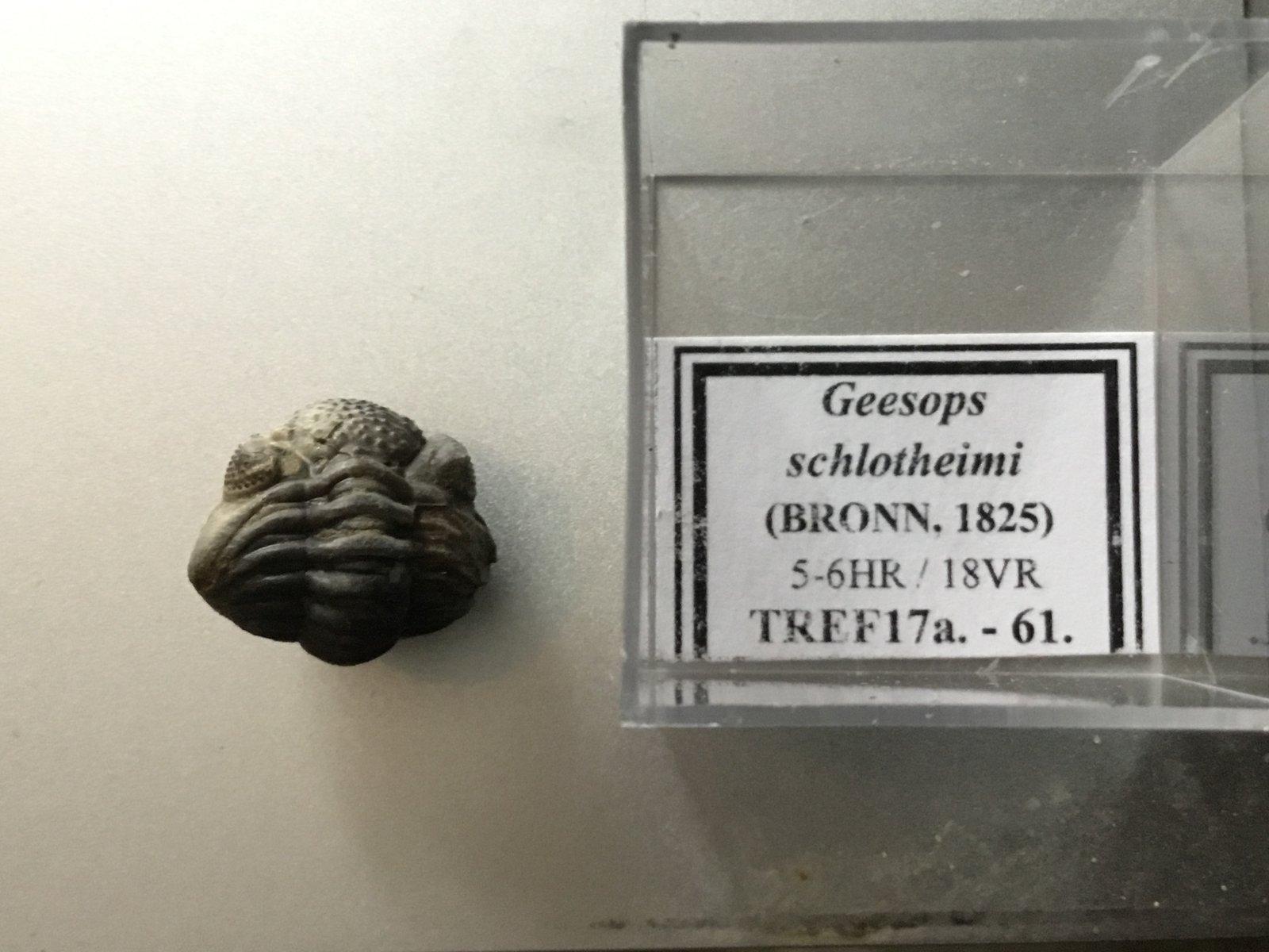 Geesops schlotheimi