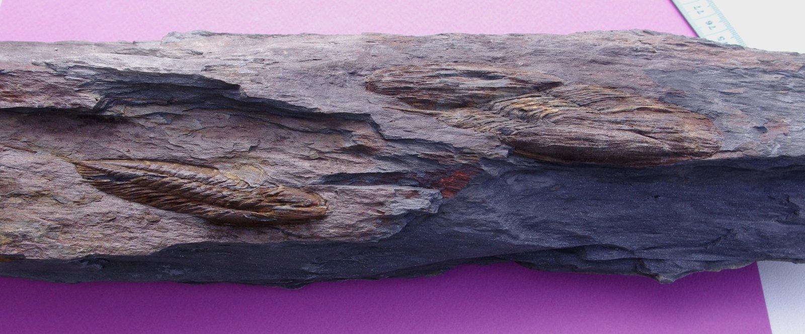 Association of Ectillaenus giganteus and Eodalmanitina Sp - before preparation
