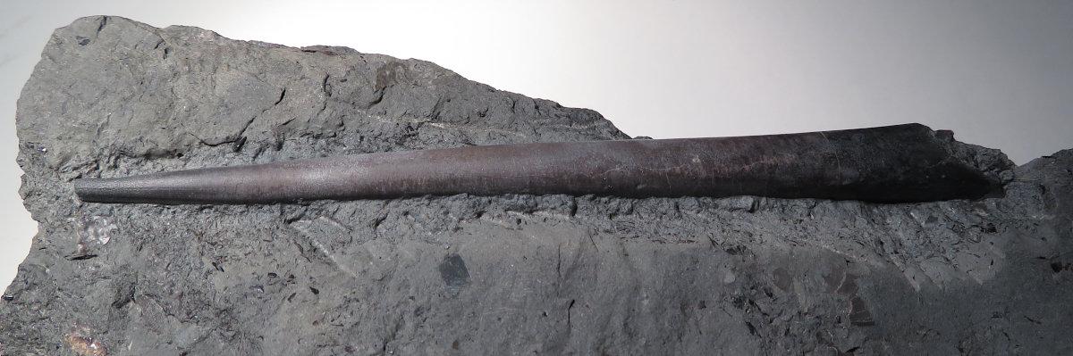 Acrocoelites