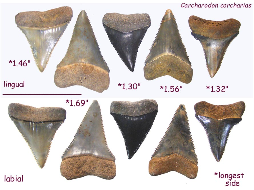 shark_carch_5.JPG.8093cf47b3e254b45daa2431a58c4dd8.JPG