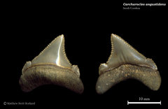 Carcharocles angustidens 15