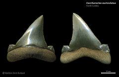 Carcharocles auriculatus 02