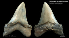 Carcharocles angustidens 16