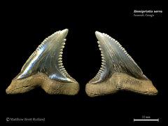 Hemipristis serra 09