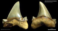 Carcharocles auriculatus 03