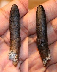 Diplodocid (?Apatosaurus) sp.