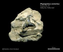 Physogaleus contortus 01