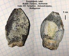 Eusauropoda indet.