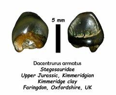 British Stegosaur tooth