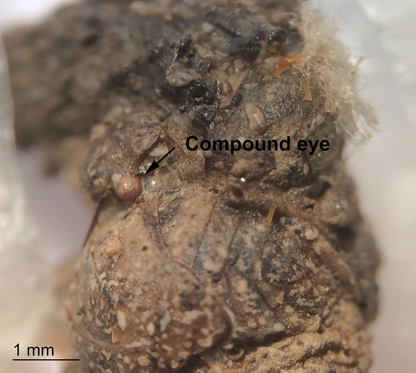 Copes Tree Frog Scat - Inclusions.jpg